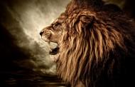 凶猛的狮子图片_11张