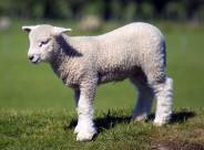 温顺的小羊图片_31张