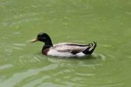 池塘里的野鸭图片_6张