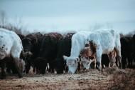 一群正在吃草的牛图片_18张