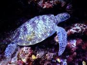 海洋里的海龟图片_10张