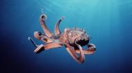 章鱼特写图片_5张