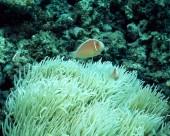 珊瑚海葵图片_20张