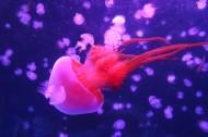 海洋中的水母图片_30张