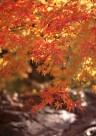 红色枫叶和日式庭院图片_15张