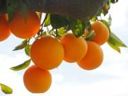 树枝上的橘子图片_16张