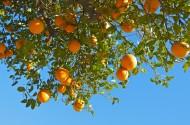 树枝上的橘子图片_13张