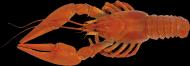 小龙虾透明背景PNG图片_16张