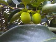 青柿子图片_12张