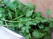 绿油油的香菜图片_12张