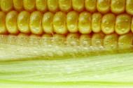 玉米图片_12张
