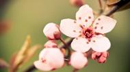 唯美小清新桃花背景图片_20张