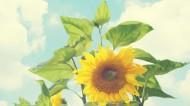 唯美向日葵背景图片_8张