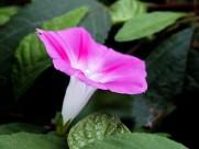 粉色和紫色喇叭花图片_6张