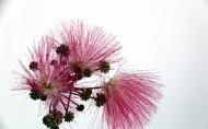 粉色毛绒绒的合欢花图片_12张