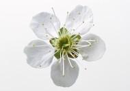 白色花朵图片_9张