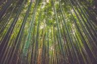 挺拔的竹子图片_15张