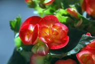 多色玻璃海棠花卉图片_11张