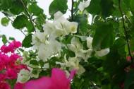 白色三角梅花卉图片_12张