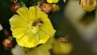 仙人掌花与蜜蜂图片_12张