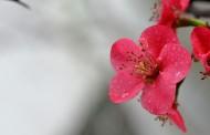 粉嫩的贴梗海棠花卉图片_12张