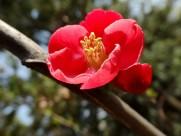 红色贴梗海棠图片_15张