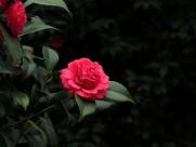 红色茶花图片 _15张