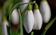 纯洁的白色雪花莲图片_9张