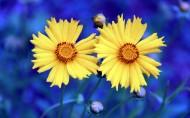 黄色金鸡菊花卉图片_14张