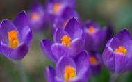 紫色的番红花图片_6张