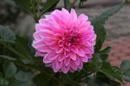 粉色和紫色大丽花图片_7张