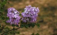 紫色的丁香花图片_8张