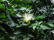 瓜栗植物图片_6张