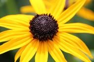 黄色非洲菊图片_11张