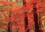 枫树枫叶图片_26张