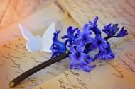 紫色优雅风信子图片_14张