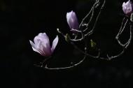 粉红色玉兰花图片_9张