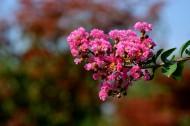 粉红色紫薇花图片_10张