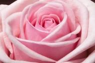 淡雅的粉玫瑰图片_10张