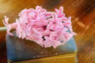 书本上的唯美粉色风信子摄影图片_11张