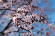绽放的粉色樱花图片_10张