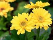靓丽的非洲菊花卉图片_11张