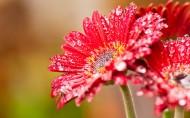 各种颜色的非洲菊花卉图片_14张