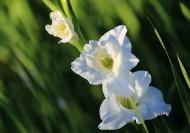 白色唐菖蒲花卉图片_8张