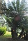 海南苏铁植物图片_2张