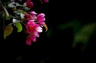 海棠花图片_11张