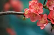海棠花图片_13张