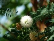 含羞草的花图片_11张