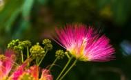 粉色合欢花图片_10张