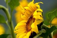 温暖金黄的向日葵图片_10张
